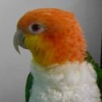 Profile picture of caique